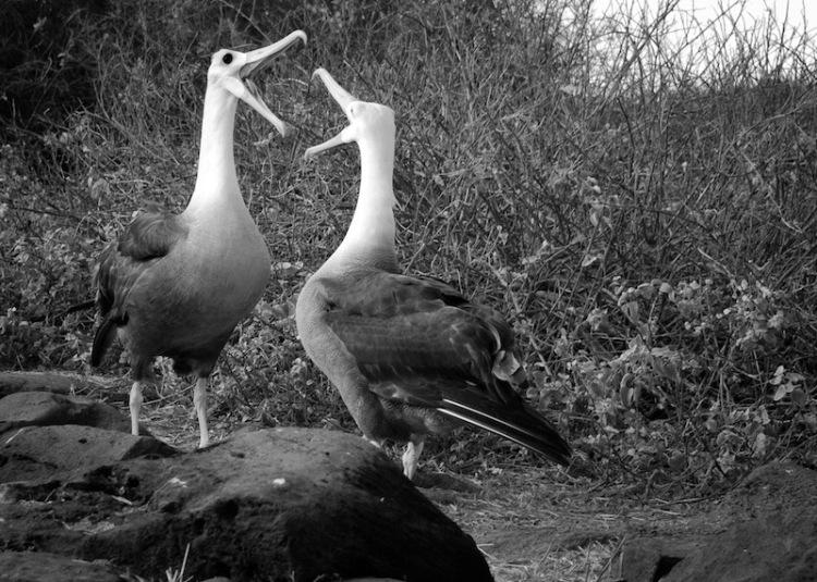 Albatross chatting