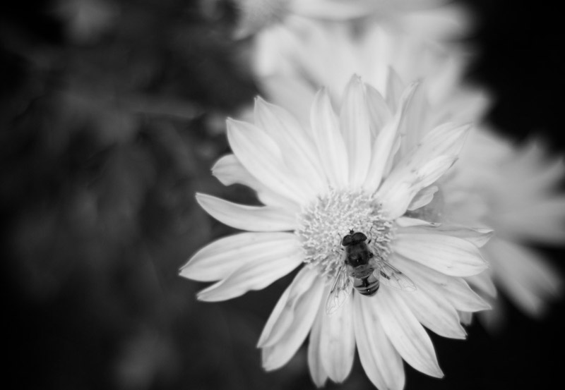 Daisy and bee